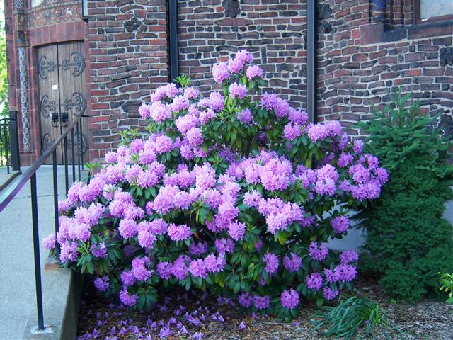 Rhododendron in church's east side garden. Photo credit: Margaret Dick