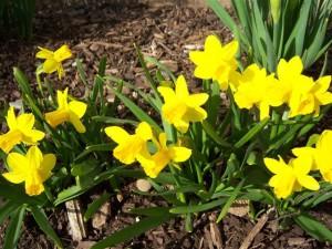 msd.daffodils