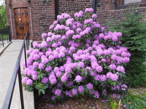 Rhododendrons in bloom in church's east side garden. Photo credit: Margaret Dick