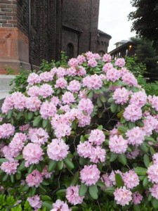 Rhododendron in west side garden.